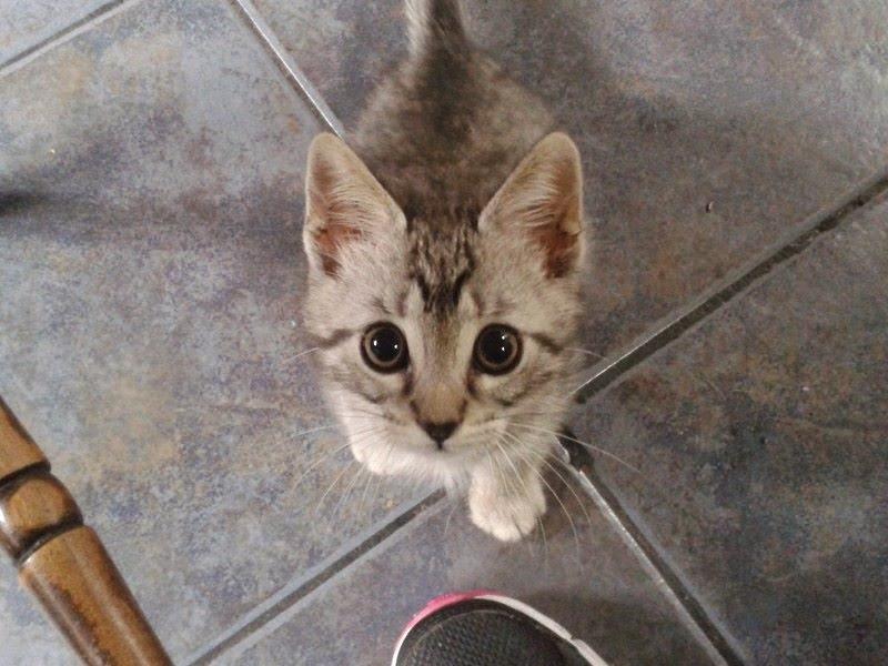 Tenny, gattina dell'Ospedale di Oderzo