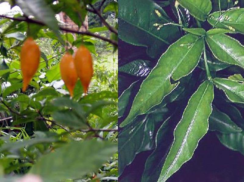 Il frutto e la pianta da cui si ricava l'Ibogaina.