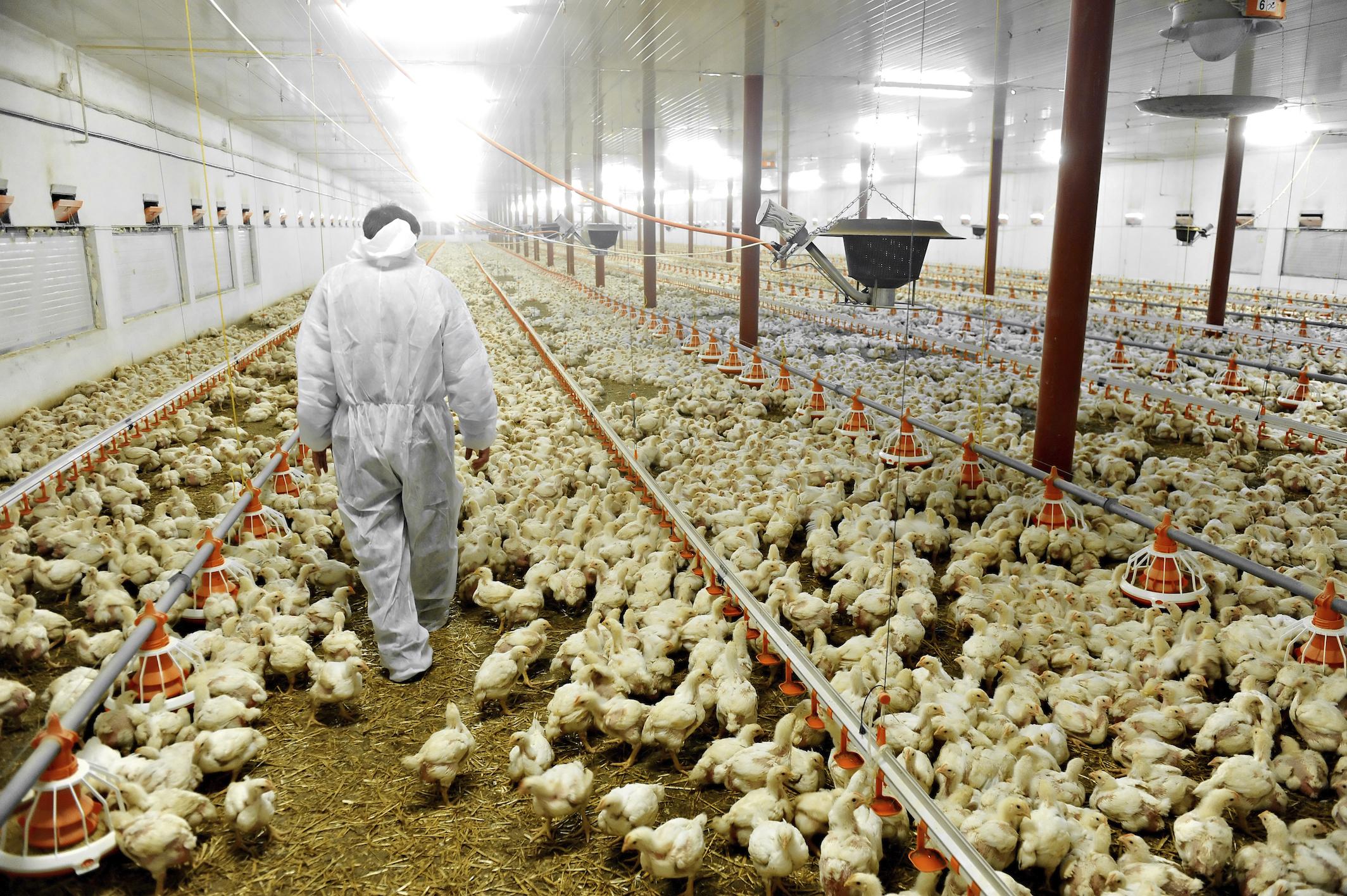 Antibiotici: negli allevamenti il 50% dei consumi italiani!