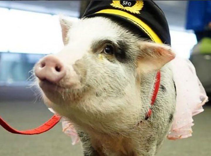 Paura di volare: un maialino in carne ed ossa per combattere ansia, stress e paure.