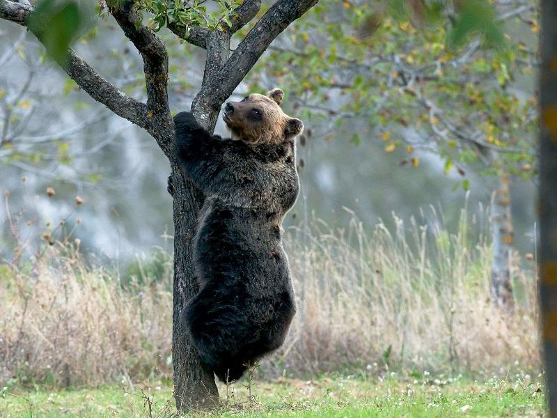 Ambiente: Orso Marsicano quasi estinto!
