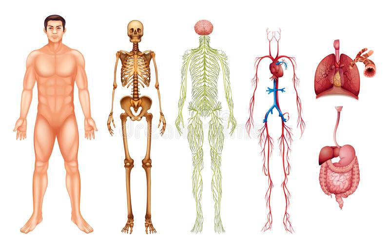 Apparati del Corpo Umano.