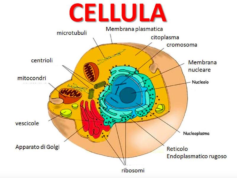 Una cellula umana.