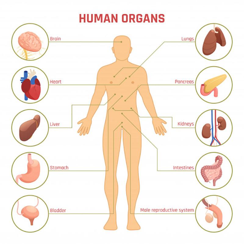 Organi del Corpo Umano e loro localizzazione.