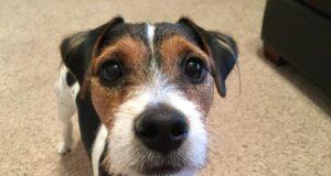 valeria cane jack terrier