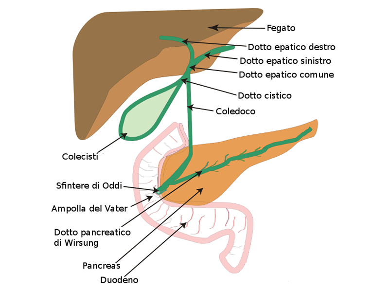 Il sistema epato-pancreatico in sintesi.